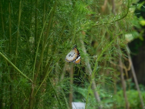 Plain Tiger butterfly on dill